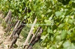 Vernaccia wine